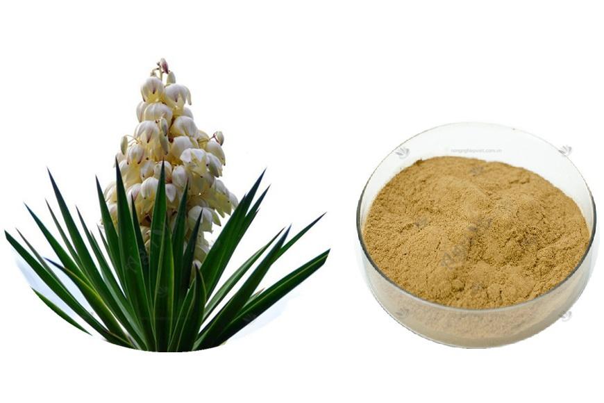 yucca và nấm men