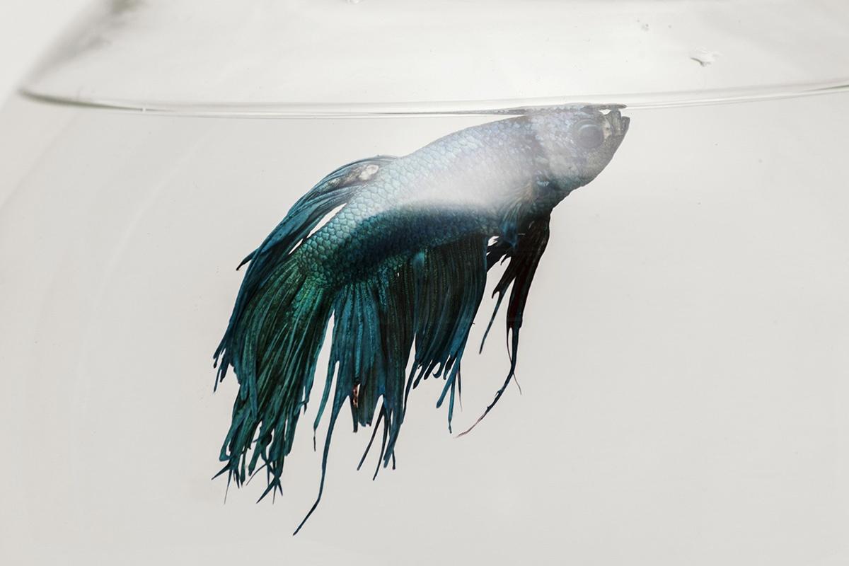 cá cảnh túm đuôi
