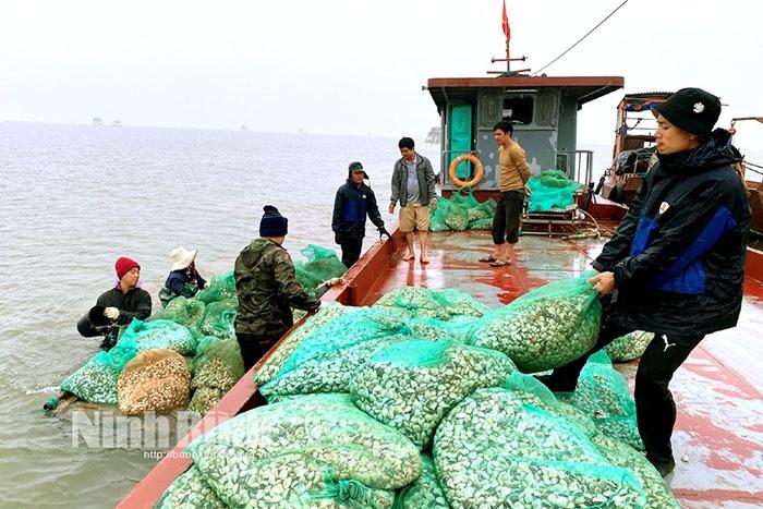 Người dân Kim Sơn thu hoạch ngao.