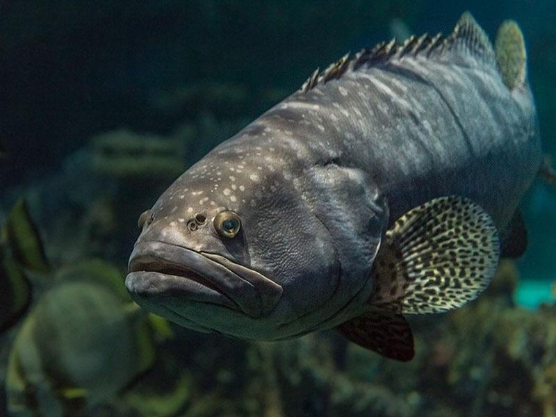 Mô hình nuôi cá mú chuyên canh.