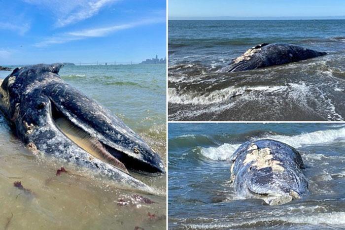 Xác cá voi liên tục dạt vào vịnh San Francisco kể từ ngày 31/3.