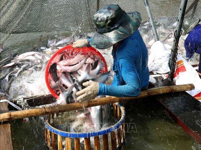 Thu hoạch cá tra thương phẩm.
