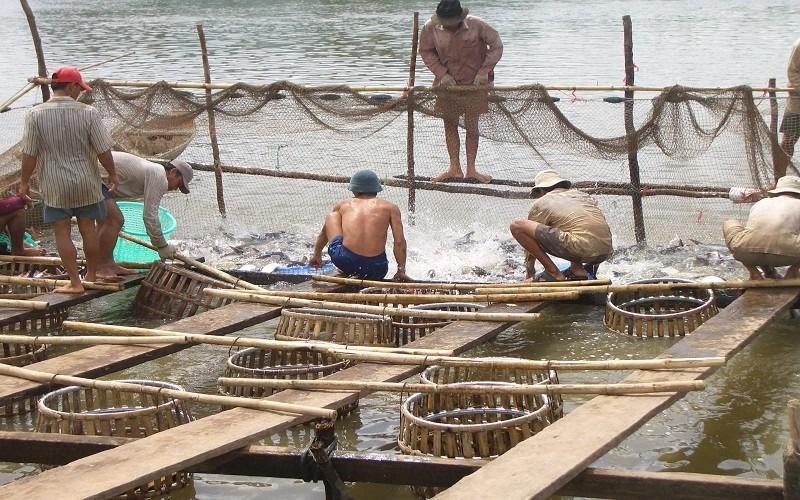 Thu hoạch cá tra ở An Giang.