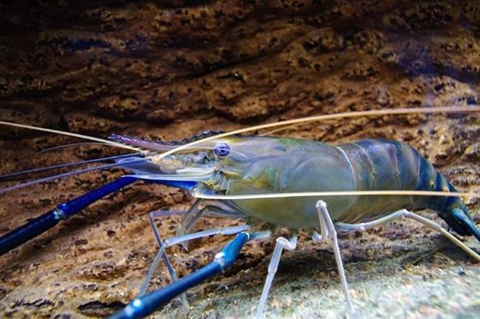 Nồng độ nitrat đến tăng trưởng và tỉ lệ sống của ấu trùng tôm càng xanh.
