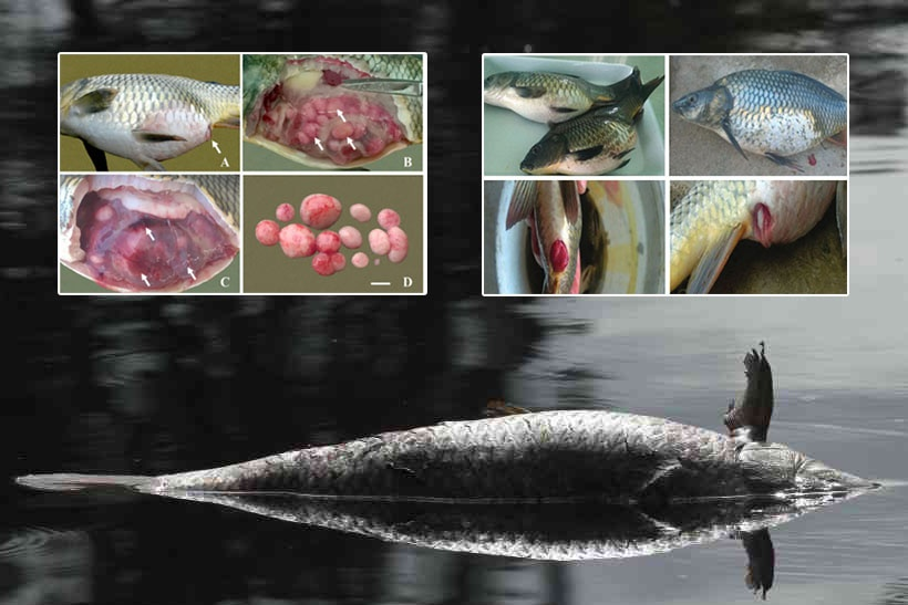 u nang đường ruột cá chép