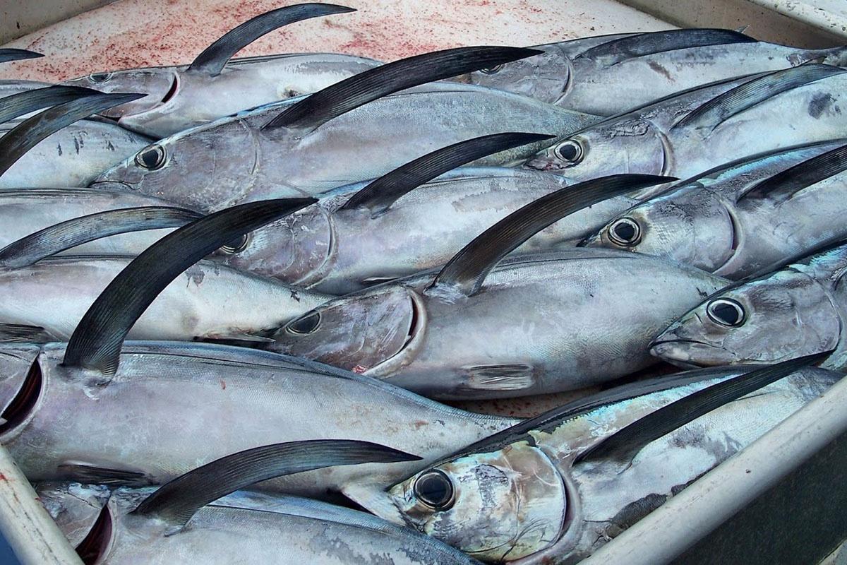 khai thác cá ngừ