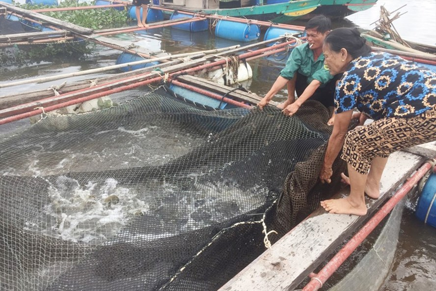 nuôi cá lồng bè