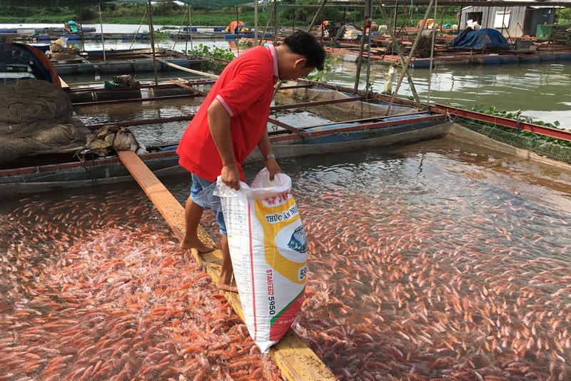 nuôi cá điêu hồng