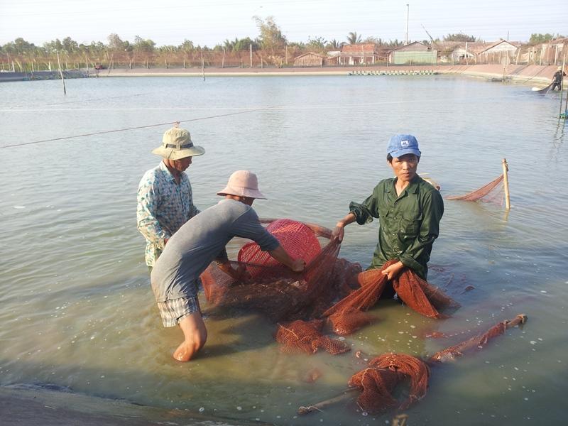 Thu hoạch tôm ở Bạc Liêu
