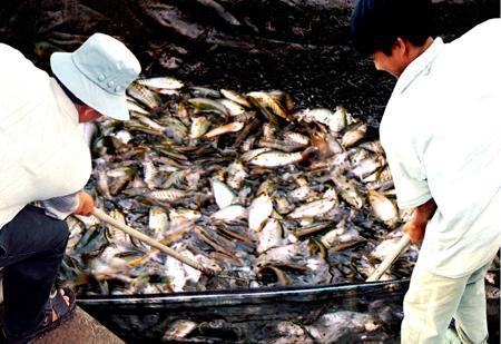 Cá bổi (cá sặc rằn)