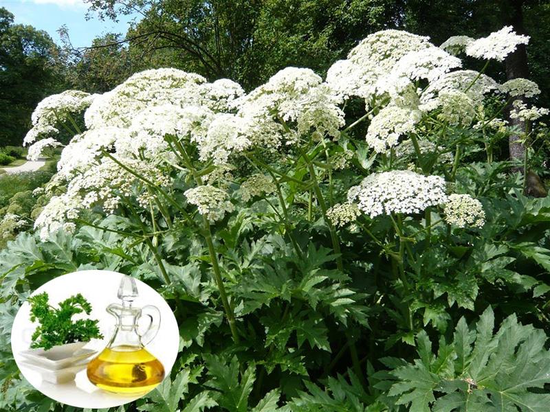 Ngò tây (Heracleum persicum) cải thiện miễn dịch và kiểm soát mầm bệnh