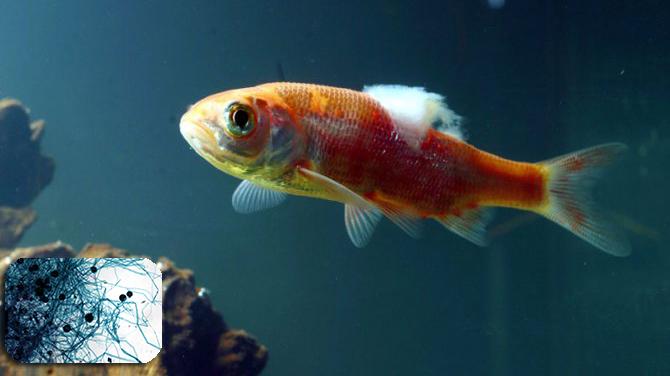 Phòng, trị bệnh do nấm gây ra ở cá nước ngọt