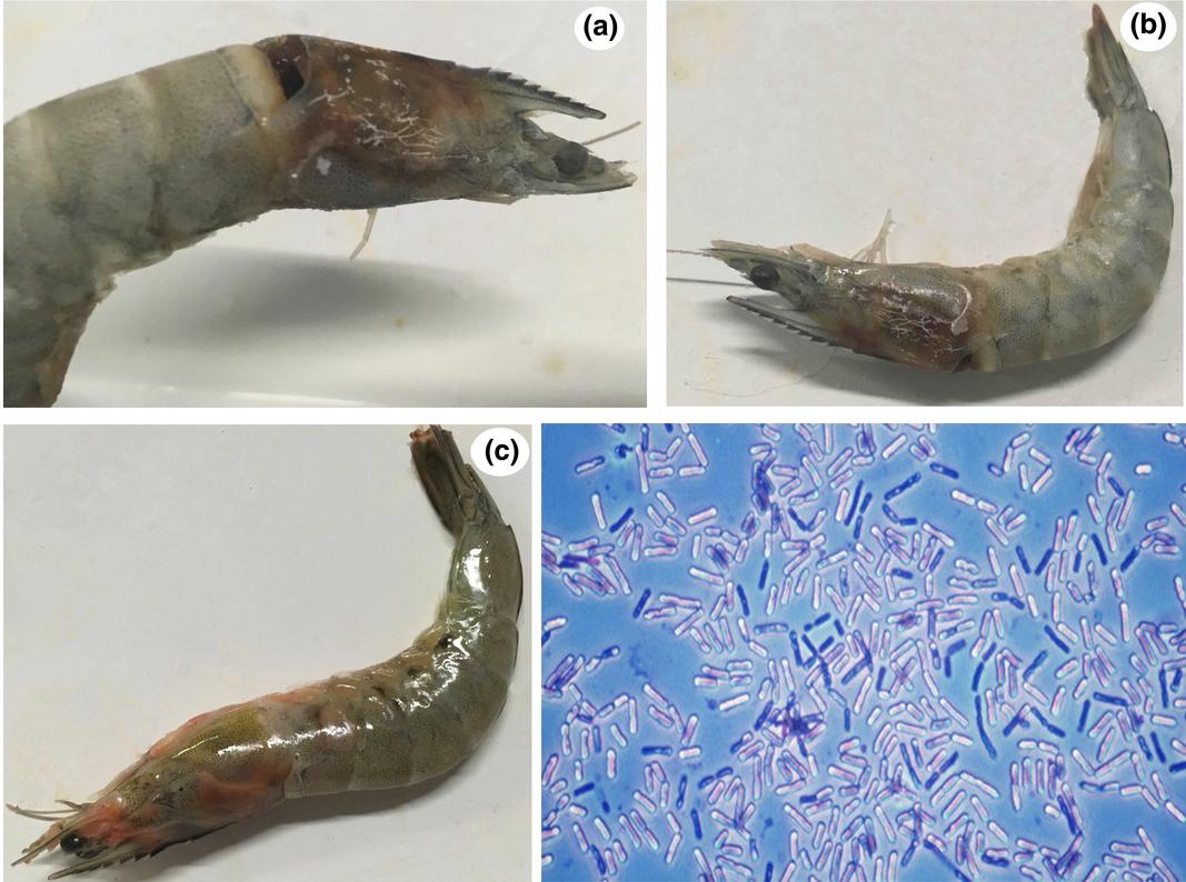 Một loài vibrio mới gây bệnh cơ hội trên tôm thẻ chân trắng