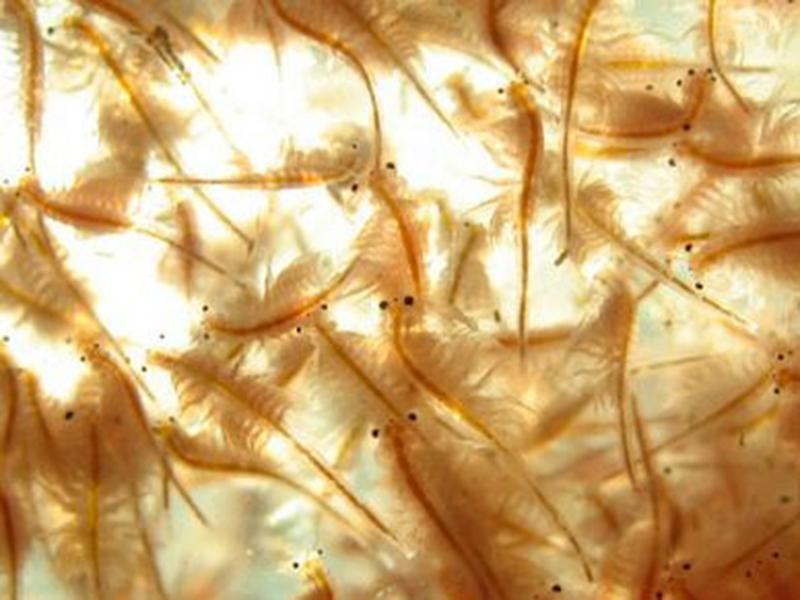 Artemia nước ngọt: tiềm năng cho nuôi trồng thủy sản