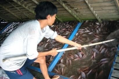 bè cá điêu hồng