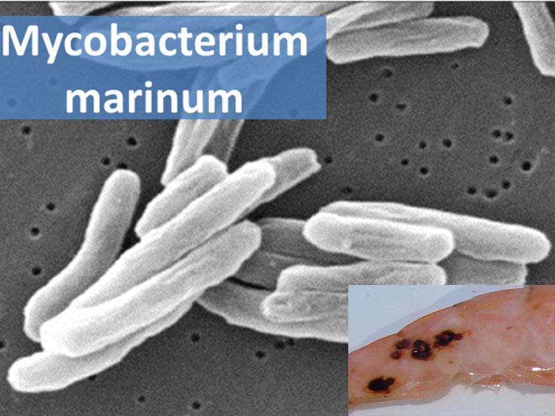 Bệnh Mycobacteriosis trên tôm thẻ chân trắng