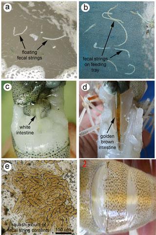 Bệnh phân trắng trên tôm và cách phòng ngừa