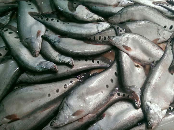 Tiềm năng sử dụng bột cá Thát lát  trong thức ăn thủy sản