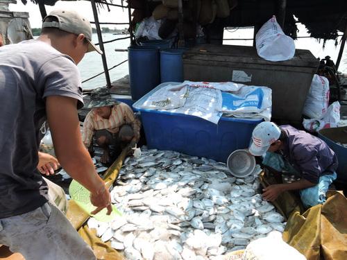 90 tấn cá bè ở Vũng Tàu chết trắng do dịch bệnh hay hóa chất?
