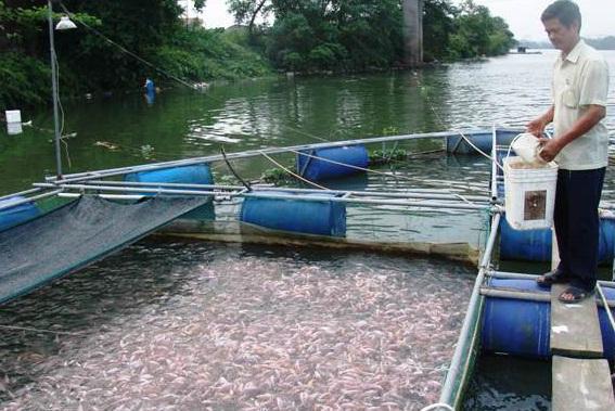 TT Huế: Cá diêu hồng rớt giá, người nuôi lao đao