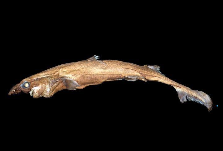 Cá mập tí hon, cá mập lồng đèn, cá mới, cá mập mới