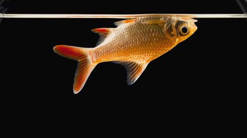 Nguyên nhân cá nổi đầu và biện pháp phòng trừ