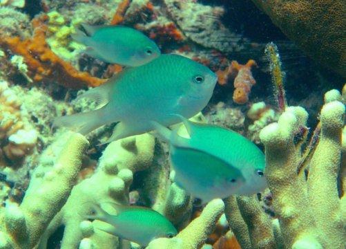Loài cá mới ở rạn san hô được sự chăm sóc hiếm có từ bố mẹ