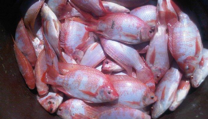khả năng chịu mặn của cá rô phi