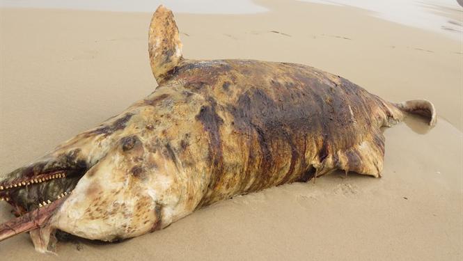 3 cá thiêng chết, dạt vào bãi biển Quảng Bình
