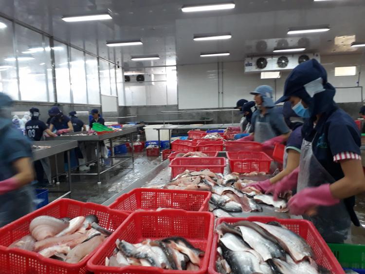 cá tra giống khan hiếm