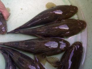 Nghĩ đến nuôi cá bống dừa