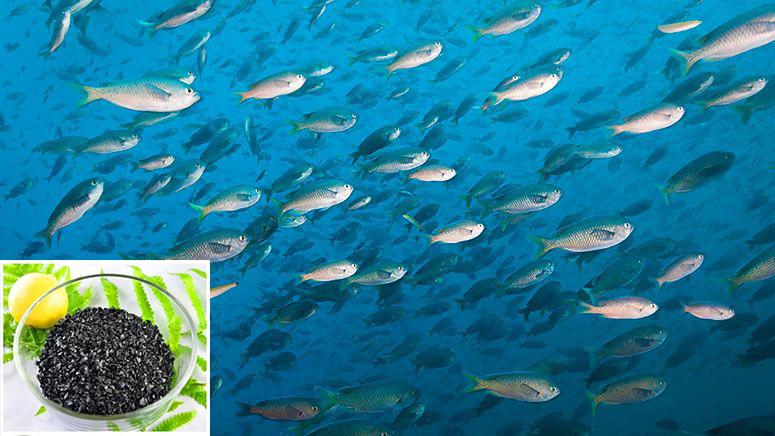 Chất giàu humic bảo vệ mạnh mẽ sự sống của cá