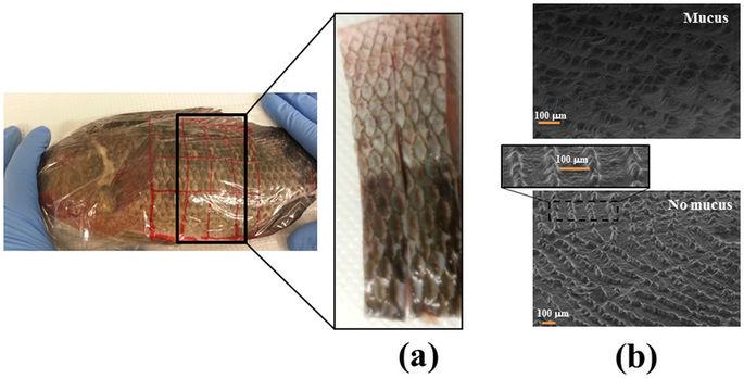 Sử dụng chất nhầy trên da để đánh giá sự căng thẳng của cá