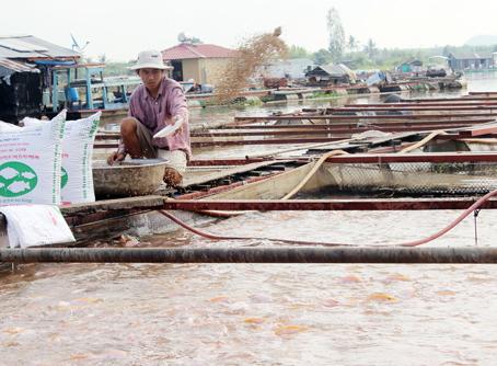 Giá cá giảm sâu, người nuôi lỗ lớn