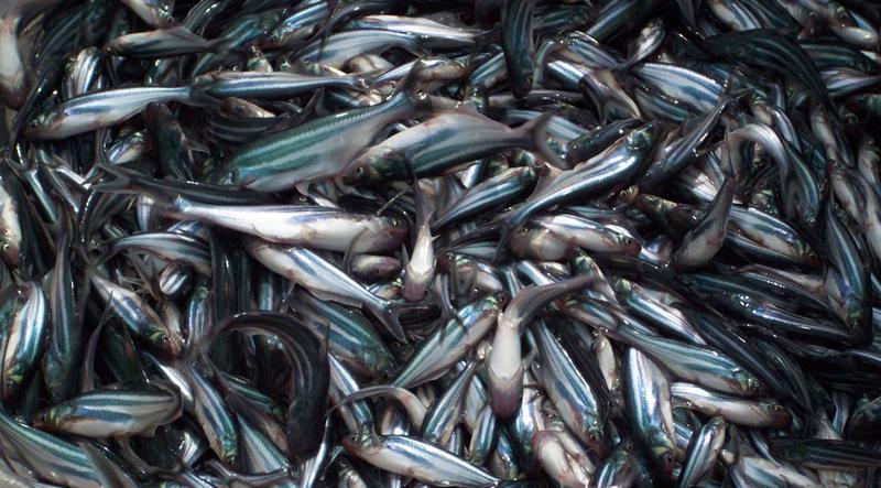 Cá tra giống giảm giá 50%