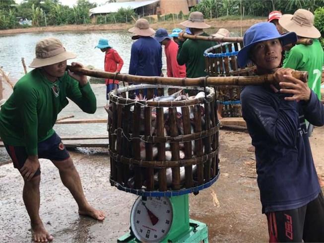 nuôi trồng thủy sản, giá cá, giá cá tra