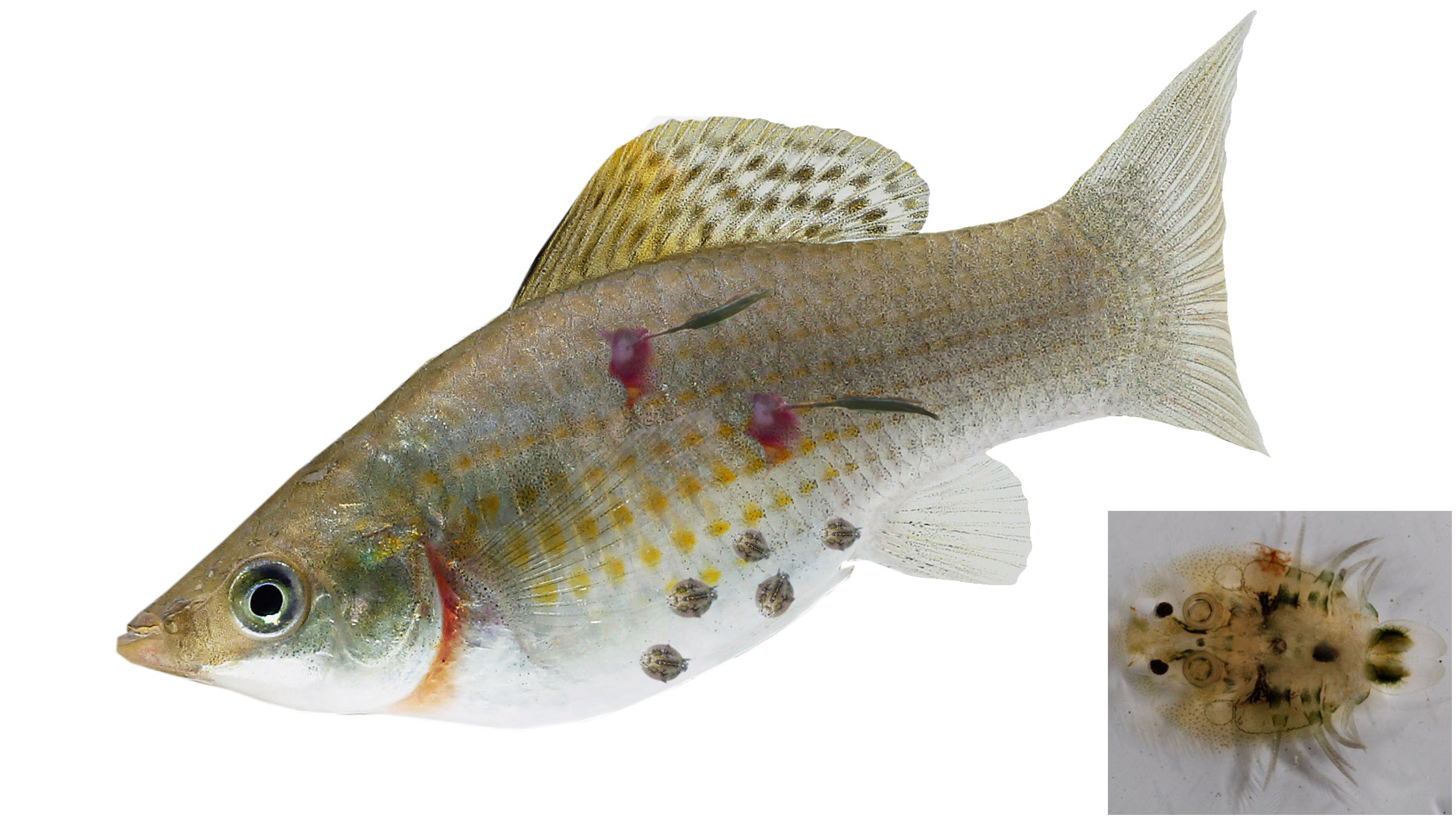 Bệnh thường gặp trên cá nuôi lồng, bè và cách phòng trị P2