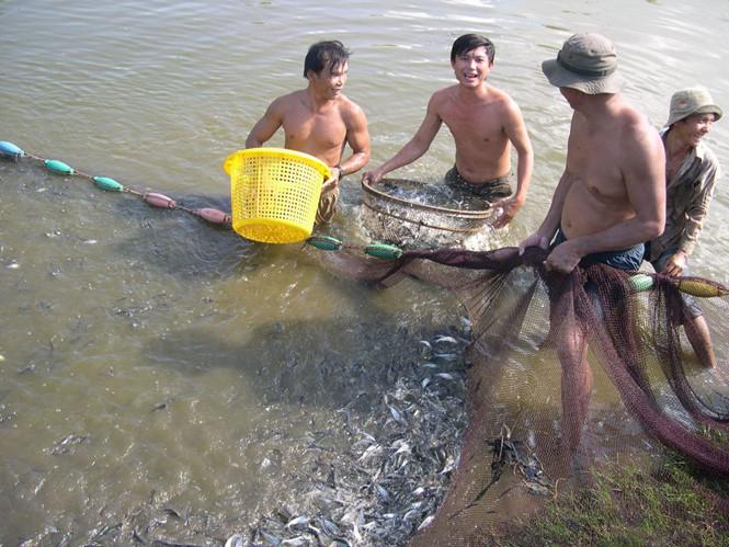 Liên kết sản xuất giống cá tra 3 cấp