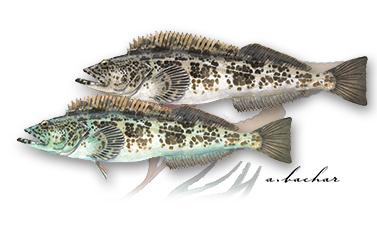 Cận cảnh loài cá có thịt xanh lè dài đến 1m