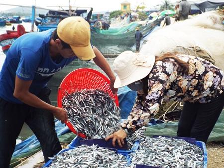 Ngư dân xã Thanh Hải được mùa cá cơm trễ