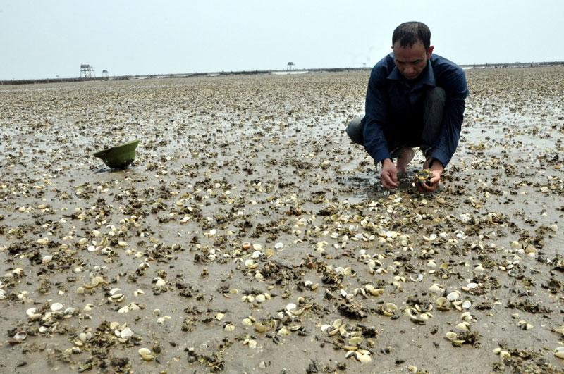 Hải Phòng: Ngao chết do nuôi quá dày, nuôi ngao, môi trường nuôi ngao