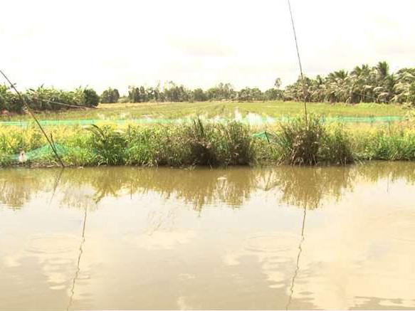 Ngã Năm phát triển diện tích nuôi cá đăng quầng