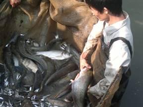 Mô hình nuôi cá nheo tại xã Thiện Kế - Bình Xuyên. Ảnh: Nguyễn Lan