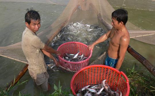 Thủ tục Cấp Giấy chứng nhận mã số nhận diện ao nuôi cá tra thương phẩm