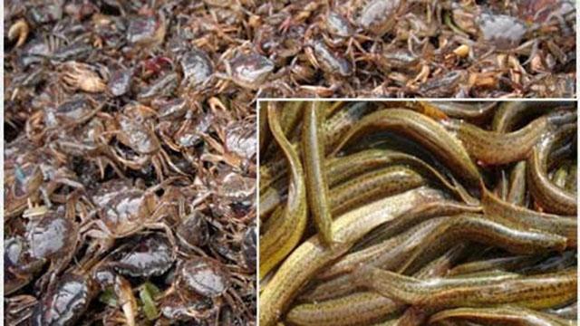 Một số lưu ý khi nuôi cua đồng cá chạch đồng trong ruộng lúa