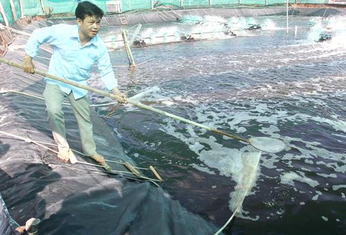 Cần tránh lạm dụng thuốc kháng sinh trong nuôi tôm biển