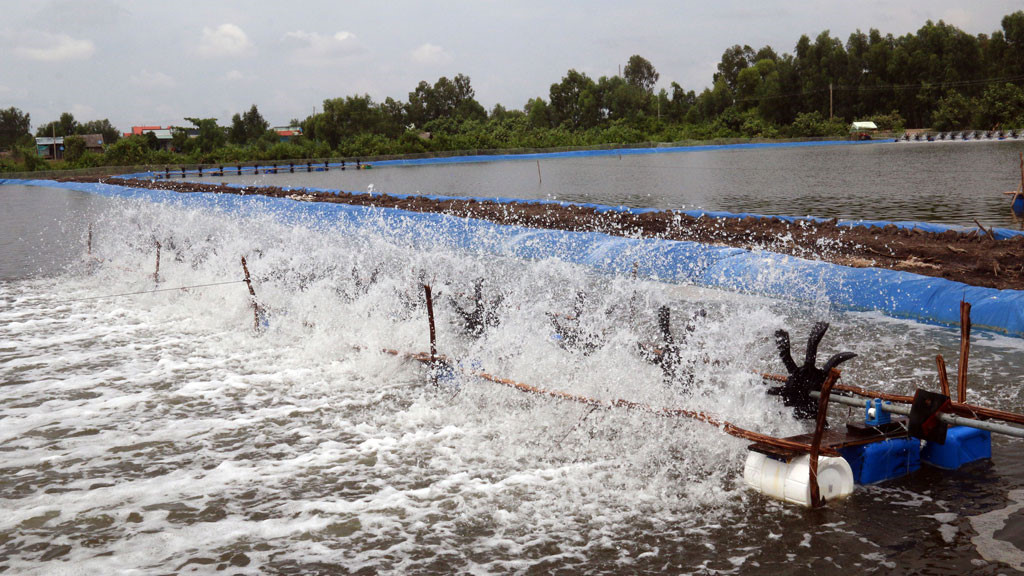 Kiên Giang: Hiệu quả từ mô hình nuôi tôm thẻ chân trắng ven biển