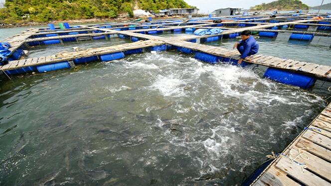Phòng trị, bệnh do vi khuẩn ở cá nuôi lồng bè