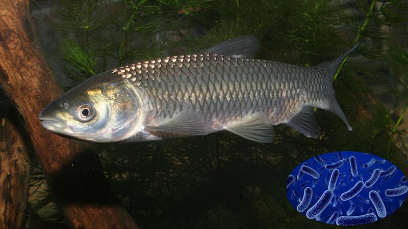 Probiotics mới trên cá từ vi khuẩn Bacillus natto