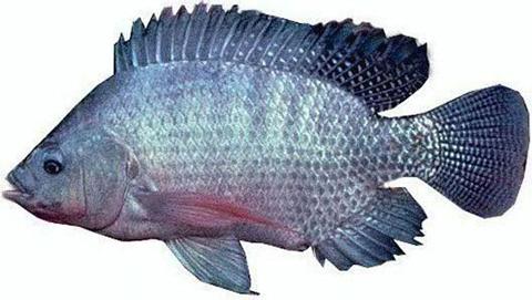 cá rô phi chịu mặn